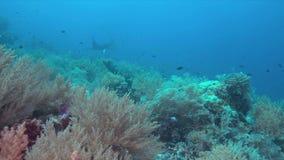 Korallenriff mit Mantarochen 4k stock video