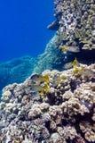 Korallenriff mit porites Korallen und Meerbarben an der Unterseite von tropischem Meer auf Hintergrund des blauen Wassers Stockfoto
