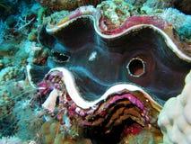 Korallenriff mit riesiger Muschel stockbilder