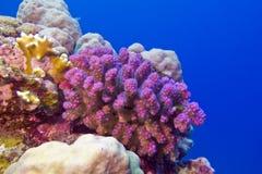 Korallenriff mit rosa pocillopora Koralle an der Unterseite von tropischem Meer Stockbild