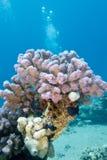 Korallenriff mit rosa rasberry Koralle im tropischen Meer, Unterwasser stockbild
