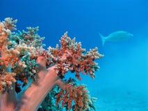 Korallenriff mit weicher Koralle und exotischen Fischen Stockfotografie
