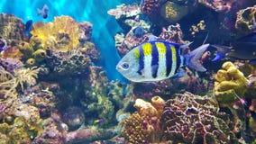 Korallenriff und blaue und gelbe Fische Lizenzfreies Stockfoto