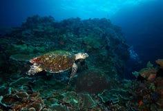Korallenriff und Taucher der Schildkröte Unterwasser Stockfotos