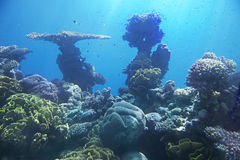 Korallenriff von Rotem Meer Stockfotos