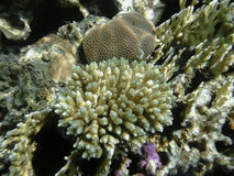 Korallenrote Acropora tenuis im Roten Meer Stockfotos