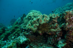 Korallenrote Anordnung Lizenzfreies Stockbild