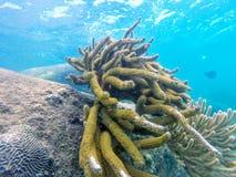 Korallenrote Art Nationalpark der Krake Tayrona stockfotos
