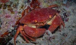 Korallenrote Befestigungsklammer Lizenzfreies Stockfoto