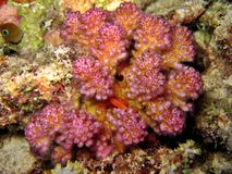 Korallenrote Befestigungsklammer Lizenzfreie Stockbilder