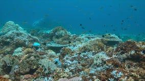 Korallenrote Bleiche stock footage
