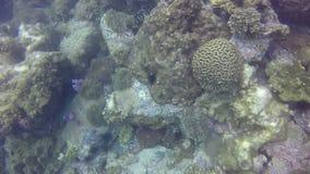 Korallenrote Bleiche tritt wenn der Oberflächentemperaturaufstieg auf, der die symbiotischen zooxanthellae verursacht stock video footage