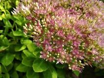 Korallenrote Blume stockfotos
