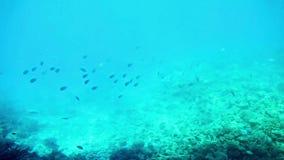 Korallenrote Fische Ägypten des Roten Meers stock footage
