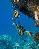 Korallenrote Fische Stockbild