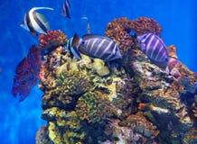 Korallenrote Fische stockfotos