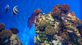 Korallenrote Fische stockfotografie