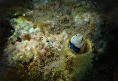 Korallenrote Fische des roten meeres- Lance Blenny Aspidontus-dussumieri Lizenzfreie Stockfotos
