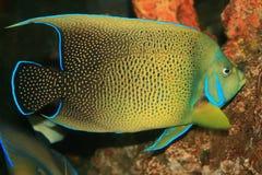 Korallenrote Fische im Roten Meer Stockfotos