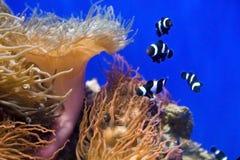 Korallenrote Fische und Actinia im Wasser. Stockfotos