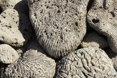 Korallenrote Fossilien stockfotos