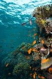 Korallenrote Kolonie stockfotografie