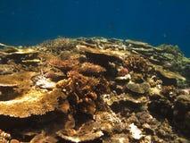 Korallenrote Kolonie auf großem Wallriff Australien stockbilder