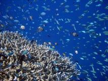 Korallenrote Kolonie- und Korallenfische. lizenzfreie stockfotografie
