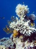 Korallenrote Kolonie- und Korallenfische. lizenzfreies stockbild