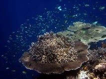 Korallenrote Kolonie- und Korallenfische. lizenzfreies stockfoto