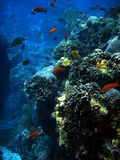 Korallenrote Kolonie- und Korallenfische. stockbild