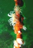 Korallenrote Lebensdauer Stockfoto