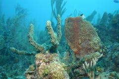 Korallenrote Lebenunterwassertauchsafari karibisches Meer Stockfoto
