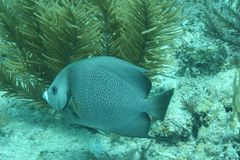 Korallenrote Lebenunterwassertauchsafari karibisches Meer Stockbilder