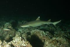Korallenrote Lebenunterwassertauchsafari karibisches Meer Lizenzfreies Stockbild