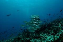 Korallenrote Lebenunterwassertauchsafari karibisches Meer Stockfotografie