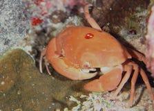 Korallenrote Lebenunterwassertauchsafari karibisches Meer Lizenzfreie Stockfotos