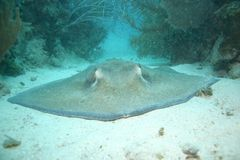 Korallenrote Lebenunterwassertauchsafari karibisches Meer Lizenzfreie Stockbilder