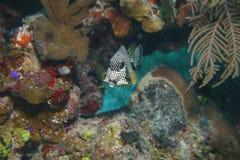 Korallenrote Lebenunterwassertauchsafari karibisches Meer Lizenzfreies Stockfoto