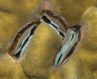 Korallenrote Muschel Lizenzfreie Stockfotos