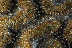 Korallenrote Polypen Lizenzfreies Stockfoto