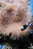 Korallenrote und beförderte Fische lizenzfreies stockfoto