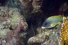 Korallenrote und blackspotted sweetlips Lizenzfreies Stockfoto