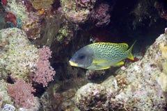 Korallenrote und blackspotted sweetlips Lizenzfreie Stockbilder