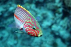 Korallenroter Fische Thalassoma Klunzingeri Stockfotos