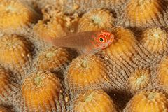 Korallenroter Goby (Trimma flavicaudatus) lizenzfreies stockbild