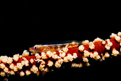 Korallenroter PeitscheGoby Lizenzfreie Stockfotografie