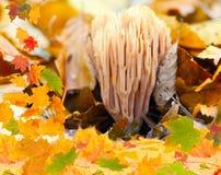 Korallenroter Pilz und Herbstlaub stockbilder