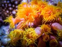 Korallenroter Polyp Actinia nachts Maledivische Küste Lizenzfreie Stockbilder