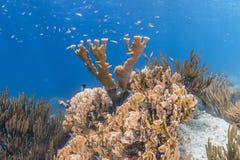 Korallenrotes Acropora Elkhorn palmata Stockfoto